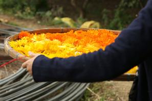 揭開本土農作護膚的序章-金盞花療癒之旅