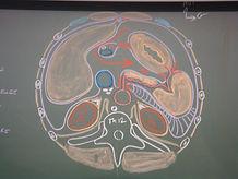 anatomie