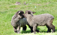 Iron Water Ranch Gidget & Flurry - Romney Ewe Lambs