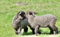 Iron Water Ranch Gidget & Flurry - Romney Ewe Lambs