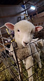 Iron Water Ranch Elegant - Corriedale Ewe Lamb