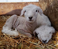 Iron Water Ranch White Romney Lambs