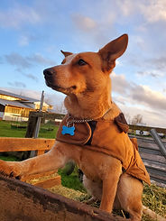 Iron Water Ranch Scarlet - Red Heeler Dog