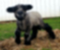 Iron Water Ranch Gidget - Romney Ewe Lamb
