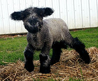 Iron Water Ranch Gidget - Romney Ewe Lamb