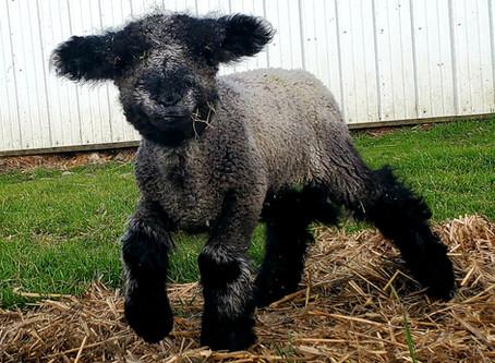 IWR Spring Lambing 2020