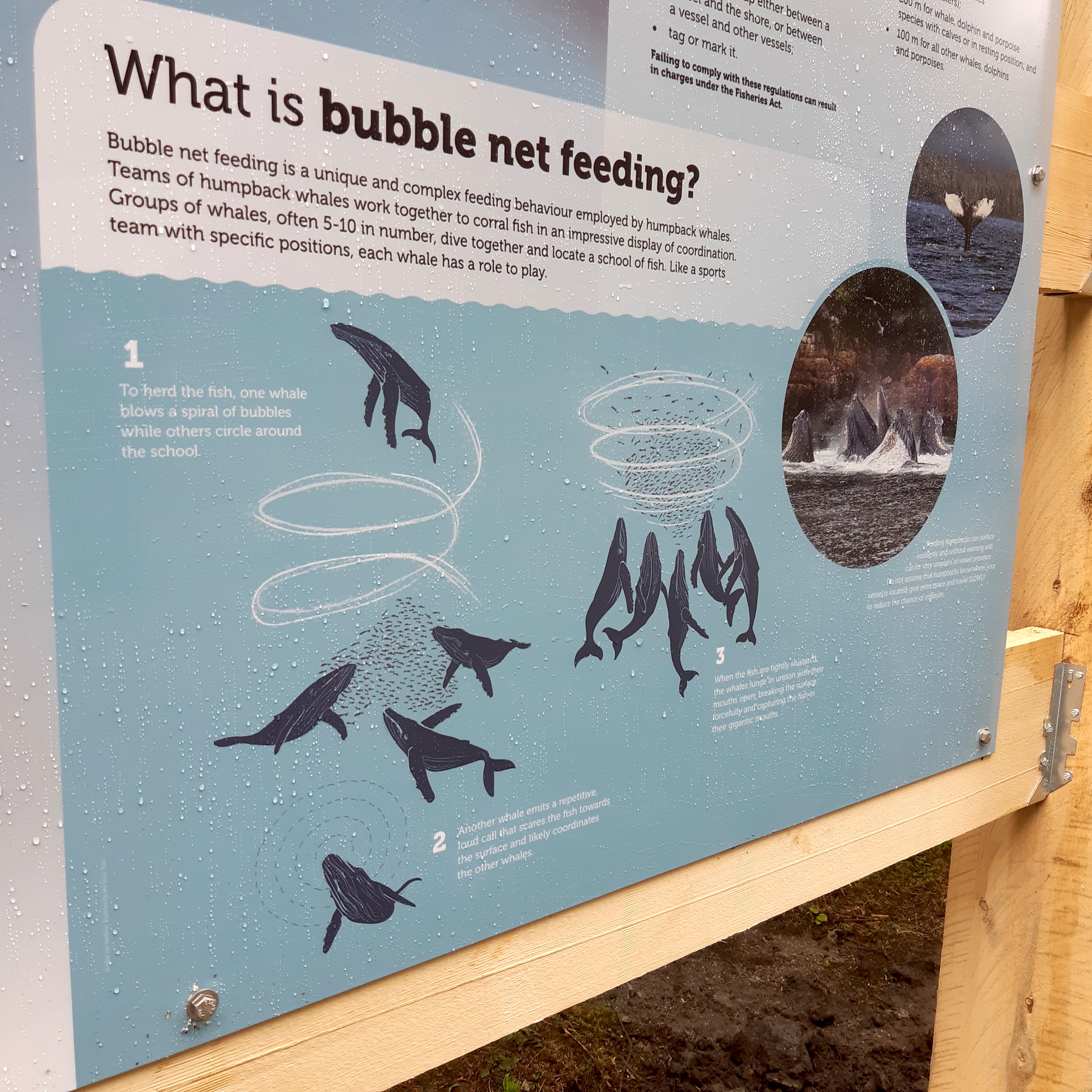Humpback Bubblenet Feeding Diagram
