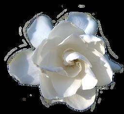 gardenia .png