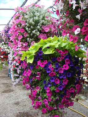 Our Hyde Park Utah Garden Center is proud to be the #1 supplier of Hanging Baskets in the Logan Utah Area