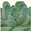 "Thumbnail: Echeveria Aurora 4"""