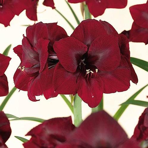 "Amaryllis Royal Velvet 34+ Bulb 8"" Planted"
