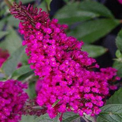 Butterfly Bush Buzz Hot Raspberry  #1