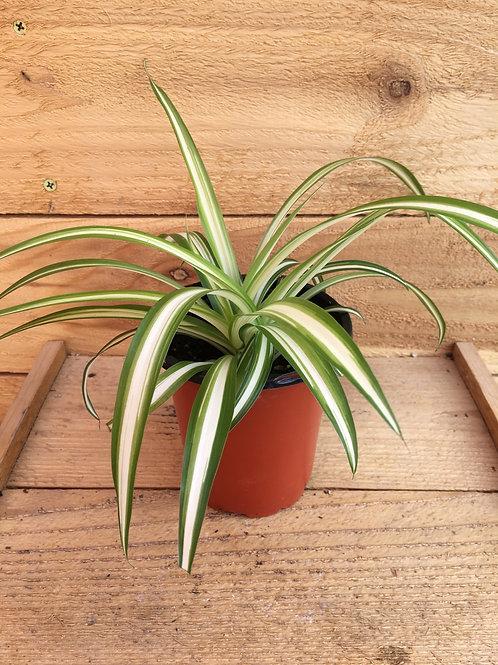 "Spider Plant-Variegated 4"""