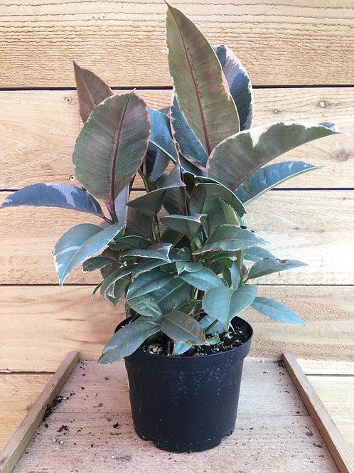 "Rubber Plant Ficus elastica 'Tineke' 6"""