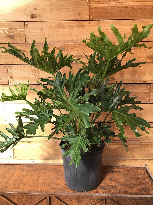 """Philodendron Hope 10"""""""