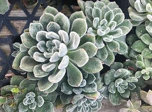 Echeveria setosa 2.JPEG