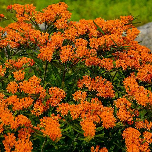 Butterfly Milkweed #1