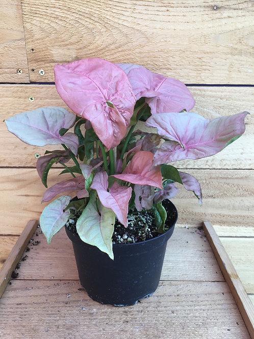 "Arrowhead Vine Syngonium podophyllum 'Neon Robusta' 6"""