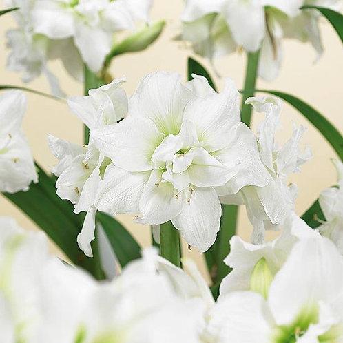 """Amaryllis Snow White 32/34 Bulb 8"""" Planted"""