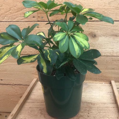"""Schefflera arboricola Variegated 6"""""""