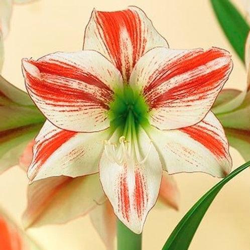 """Amaryllis Ambiance 32/34 Bulb 8"""" Planted"""