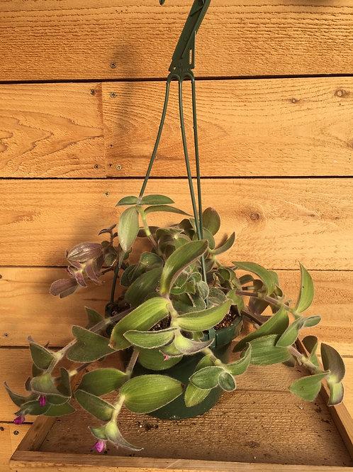 "Cobweb Spiderwort 6"" Hanging"