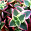 "Thumbnail: Crassula Calico Kitten 4"""
