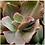 """Thumbnail: Echeveria gibbiflora 4"""""""