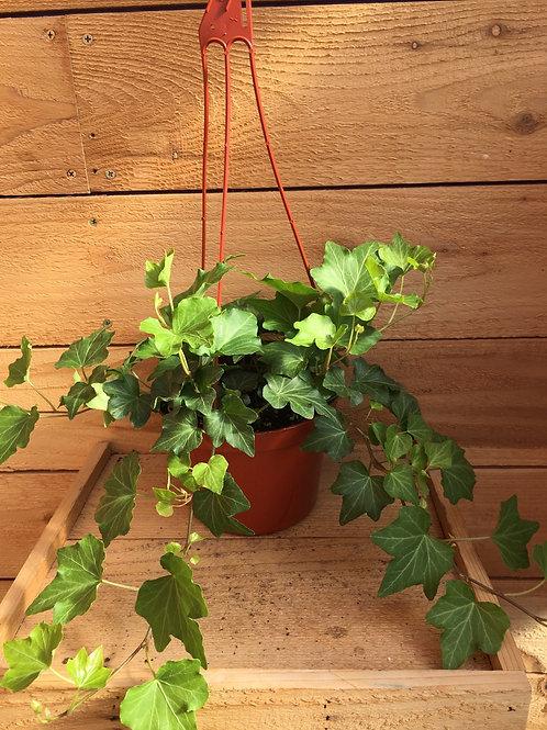 """English Ivy California 6"""" Hanging"""