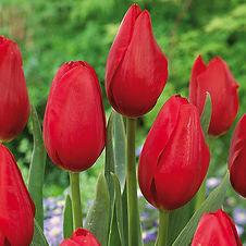 visi126121 Tulip Warsawa.jpg