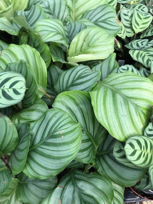 """Calathea orbifolia 4"""""""