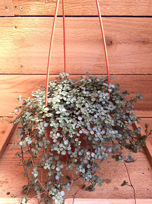 """Baby's Tears-Red Stem 6"""" Hanging"""