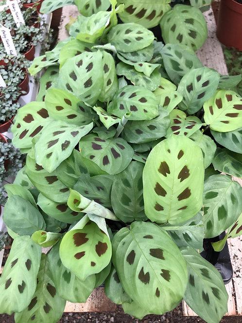"""Prayer Plant Maranta leuconeura 4"""""""