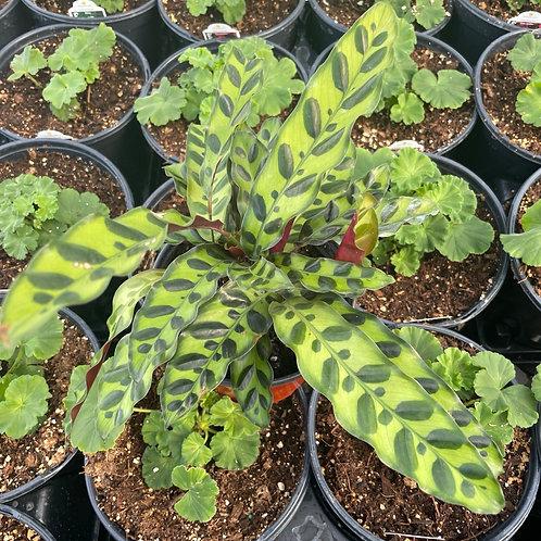 "Calathea lancifolia Rattle Snake Plant 6"""