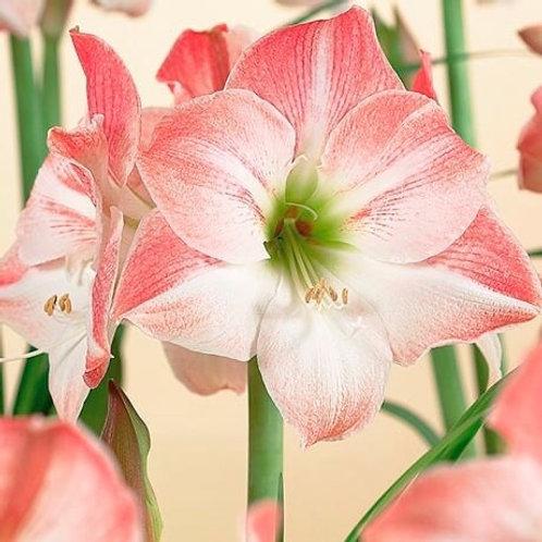 """Amaryllis Appleblossom 8"""" Planted"""
