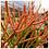 "Thumbnail: Euphorbia Fire Sticks 4"""