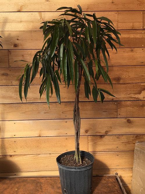 """Ficus alii 10"""" Braid"""