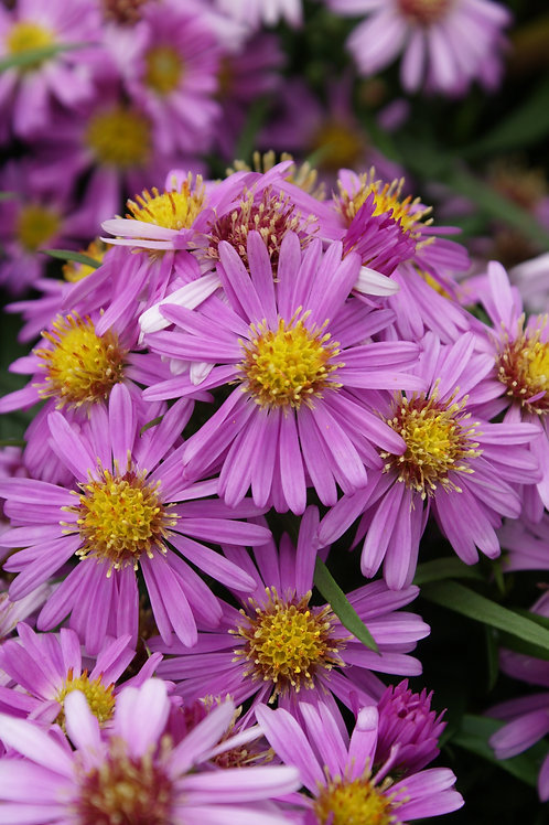 Wood's Pink Aster #1