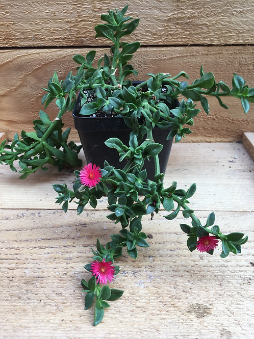 "Aptenia cordifolia Red Apple 4"""