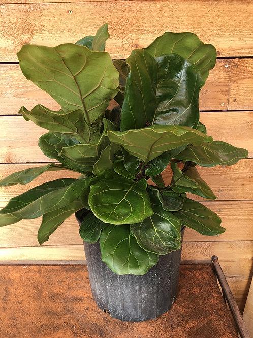 "Ficus lyrata Fiddle Leaf Fig 10"""