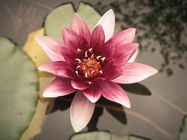 Lotus blossom.jpg