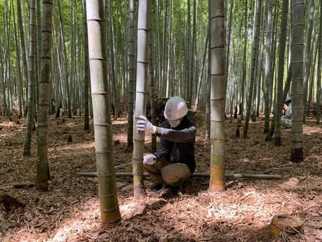 嵯峨野で竹林整備を行いました