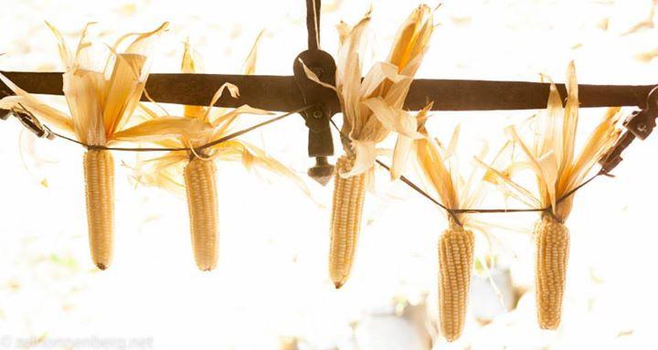 Junho é época de milho verde
