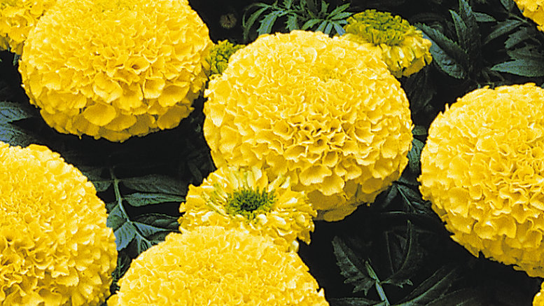 Marigold African - Marvel - Yellow