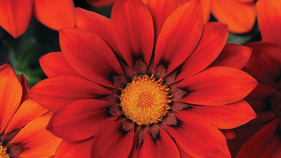 Gazania - New Day - Red Shades