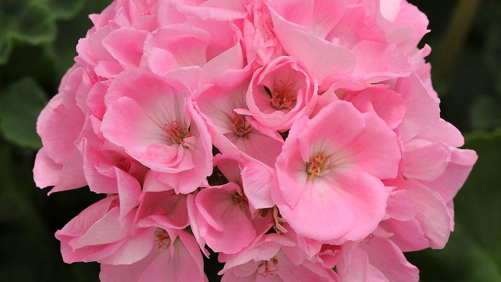 Zonal Dynamo Light Pink