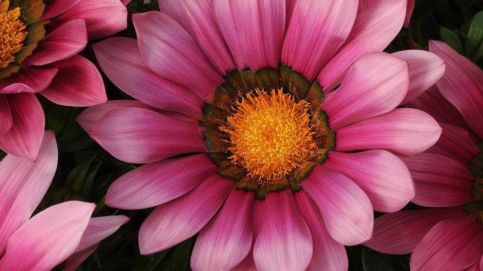 Gazania - New Day - Pink Shades