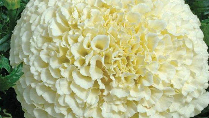 Marigold African - Vanilla