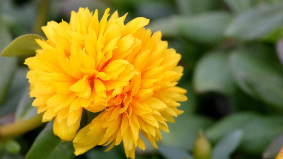 Portulaca - Colorblast - Double Yellow