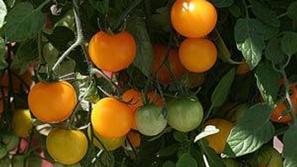 Tomato (Small-fruited) - Tumbling Tom Yellow